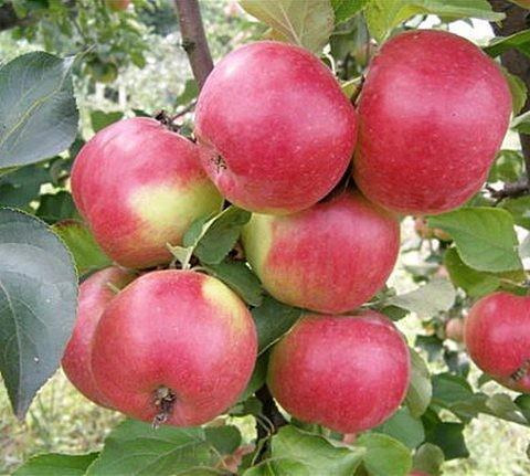 Яблоня домашняя Жигулевское