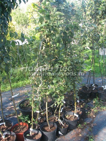 Саженцы плодового дерева Яблоня домашняя Жигулевское осенью в нашем питомнике Сады Ясногорья (Тульская область, Ясногорский район)