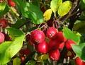 Плодовые крупномеры и саженцы Яблоня домашняя Долго (креб, китайка)
