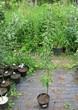 Саженцы и плодовые крупномерные деревья Яблоня домашняя Долго