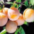 Плодовые крупномеры и саженцы Слива домашняя Светлячок