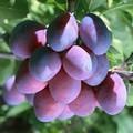 Плодовые крупномеры и саженцы Слива домашняя Смолинка