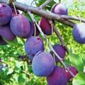 Плодовые крупномеры и саженцы Слива домашняя Этюд