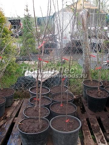 Саженцы плодового дерева Слива домашняя сорт Болховчанка на торговой площадке садового центра (Московская область, Мытищинский район)