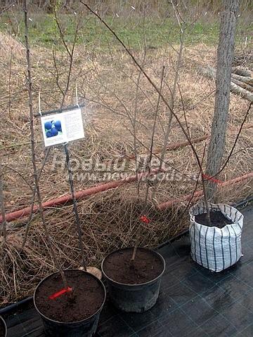 Саженцы плодового дерева Слива домашняя Евразия 21 в нашем питомнике Сады Ясногорья (Тульская область, Ясногорский район)