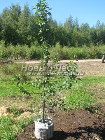 Саженцы плодового дерева Слива домашняя Евразия 21 осенью в нашем питомнике Сады Ясногорья (Тульская область, Ясногорский район)
