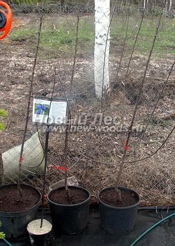 Саженцы плодового дерева Слива домашняя Ренклод тамбовский в нашем питомнике Сады Ясногорья (Тульская область, Ясногорский район)