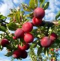 Плодовые крупномеры и саженцы Слива китайская Алёнушка