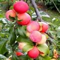 Плодовые крупномеры и саженцы Слива китайская Неженка