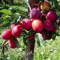 Плодовые крупномеры и саженцы Слива китайская Скороплодная