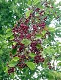 Черемуха виргинская (Prunus virginiana (Padus virginiana))