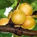 Плодовые крупномеры и саженцы Абрикос Эдельвейс