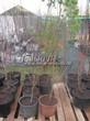 Саженцы и плодовые крупномерные деревья Абрикос Кунач