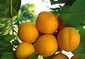 Плодовые крупномеры и саженцы Абрикос маньчжурский