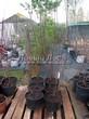 Саженцы и плодовые крупномерные деревья Абрикос Орловчанин