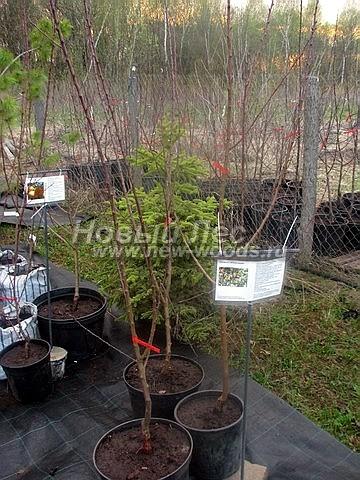 Саженцы плодового дерева Абрикос Орловчанин в нашем питомнике Сады Ясногорья (Тульская область, Ясногорский район)