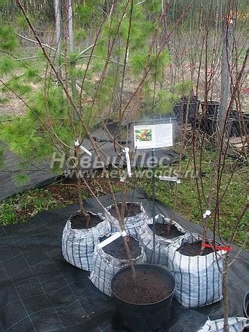 Саженцы плодового дерева Абрикос Саровский в нашем питомнике Сады Ясногорья (Тульская область, Ясногорский район)