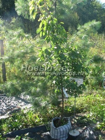 Саженцы плодового дерева Абрикос Саровский осенью в нашем питомнике Сады Ясногорья (Тульская область, Ясногорский район)