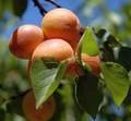 Плодовые крупномеры и саженцы Абрикос Алёша