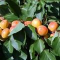 Плодовые крупномеры и саженцы Абрикос Графиня