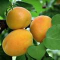 Плодовые крупномеры и саженцы Абрикос Жигулёвский сувенир
