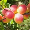 Плодовые крупномеры и саженцы Абрикос Краснощёкий