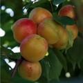 Плодовые крупномеры и саженцы Абрикос Новоспасский