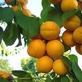 Плодовые крупномеры и саженцы Абрикос Погремок