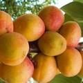 Плодовые крупномеры и саженцы Абрикос Слава севера