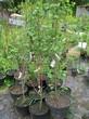 Саженцы и плодовые крупномерные деревья Абрикос Слава севера