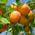 Плодовые крупномеры и саженцы Абрикос Триумф северный