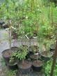 Саженцы и плодовые крупномерные деревья Абрикос Триумф северный