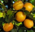Плодовые крупномеры и саженцы Абрикос Царский
