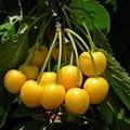 Плодовые крупномеры и саженцы Черешня Чермашная