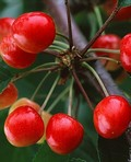 Плодовые крупномеры и саженцы Черешня Аделина