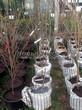 Саженцы и плодовые крупномерные деревья Черешня Аделина