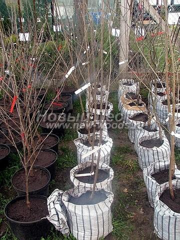 Саженцы плодового дерева Черешня Аделина в нашем питомнике Сады Ясногорья (Тульская область, Ясногорский район)