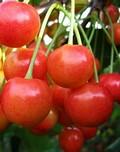 Плодовые крупномеры и саженцы Черешня Брянская розовая
