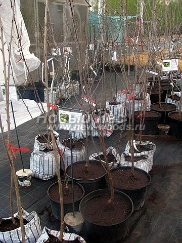 Саженцы плодового дерева Черешня Фатеж в нашем питомнике Сады Ясногорья (Тульская область, Ясногорский район)