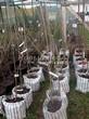 Саженцы и плодовые крупномерные деревья Черешня Ипуть