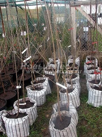 Саженцы плодового дерева Черешня Ипуть на торговой площадке садового центра (Московская область, Мытищинский район)
