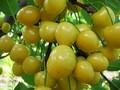 Плодовые крупномеры и саженцы Черешня Малыш