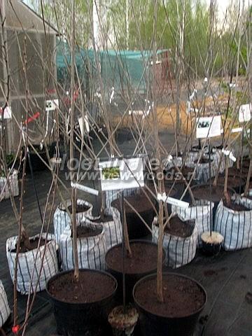 Саженцы плодового дерева Черешня Малыш в нашем питомнике Сады Ясногорья (Тульская область, Ясногорский район)
