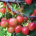 Плодовые крупномеры и саженцы Черешня Юлия