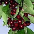 Плодовые крупномеры и саженцы Черешня Мичуринка