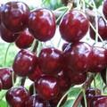 Плодовые крупномеры и саженцы Черешня Оленька