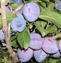 Плодовые крупномеры и саженцы Алыча Анжелина