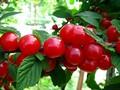 Плодовые крупномеры и саженцы Вишня войлочная