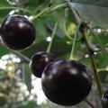 Плодовые крупномеры и саженцы Вишня обыкновенная Память Ворончихиной