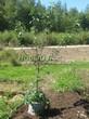 Саженцы и плодовые крупномерные деревья Вишня обыкновенная Чёрная крупная